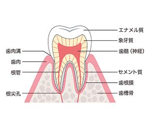 歯周組織について